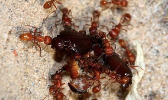 Спілкування мурах в колонії організовано за принципом соціальної мережі