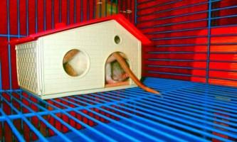 Облаштовуємо будинок для щури: як створити звірку затишне житло?