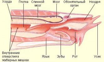 Звичайна міксина (myxine glutinosa)