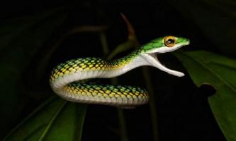 Звичайна попугайная змія - тонкий зелений вже
