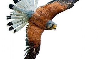 Звичайна боривітер (falco tinnunculus)