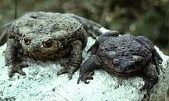 Звичайна (сіра) жаба