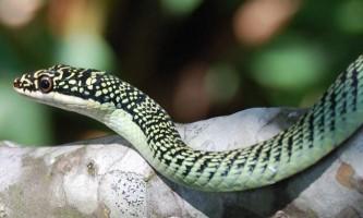 Звичайна прикрашена змія - смарагдова красуня