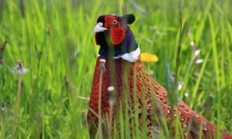 Звичайний фазан: опис породи, розмноження і харчування