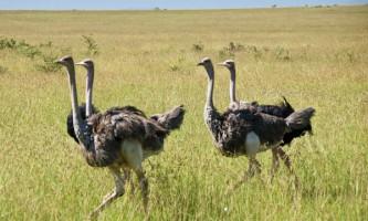 Звичайний страус: опис і характеристика виду