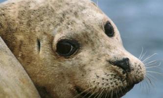 Звичайний тюлень