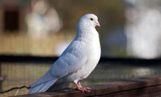 Огляд усіх видів голубів з фото і описом