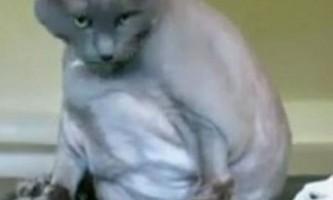 Дуже товстий кіт король лев проходить реабілітацію