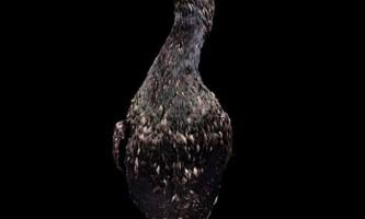 Очковий або стеллеров баклан - що ми знаємо про цього птаха?