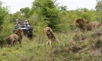 Один день з життя африканських левів