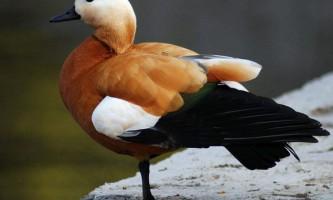 Огар - голосиста червона качка