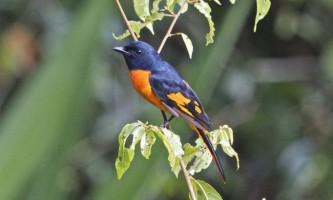 Огненнобрюхій довгохвостий лічінкоед - «райська» птах