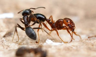 Вогненні мурахи сплять 250 раз за день і бачать сни