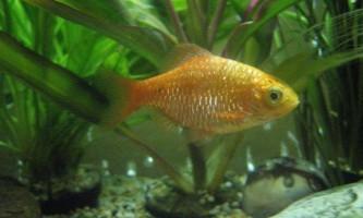 Барбус вогняний: житель акваріумів