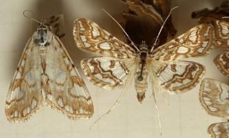 Огнівка: фото, опис метелики