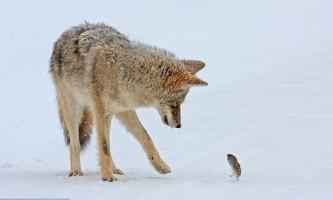 Полювання койота (coyote) на польову миша
