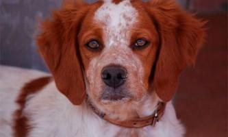 Мисливські породи собак в білорусі