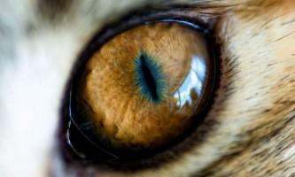 Мисливець або жертва: вчені навчилися визначати хижаків за формою зіниці