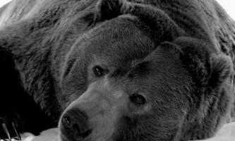 Мисливці залишили вмирати ведмедя з бочкою на голові. Відео