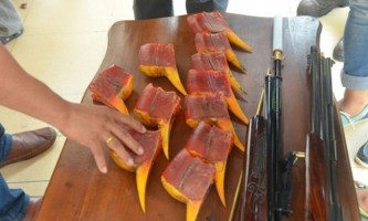 Мисливці за «червоною слоновою кісткою» поставили птахів-носорогів на грань вимирання