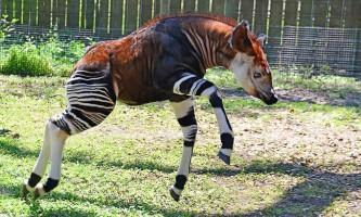 Окапі - смугастий жираф