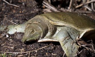 Виявляється, далекосхідна черепаха пісяє ротом
