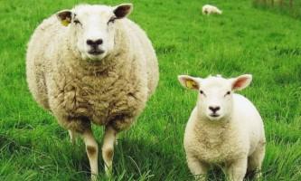 Окот овець