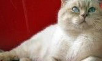 Забарвлення колор-пойнт - кішки з кольоровими мітками