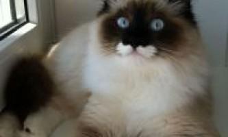 Забарвлення невської маскарадною кішки