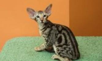 Забарвлення орієнтальних кішок