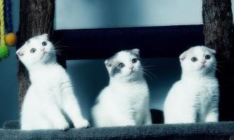Забарвлення шотландських висловухих кішок