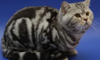 Забарвлення таббі (теббі) британських кішок