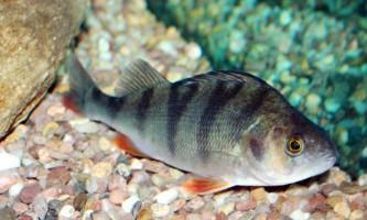 Окунь річковий: фото риби, цікаві факти