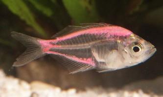 Окунь скляний: все про прозору рибі