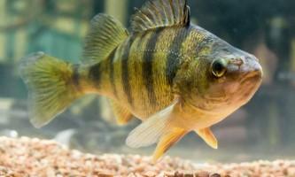 Окунь жовтий - риба в смужку