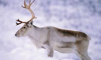 Олень - північне тварина (опис, чим харчується, фото).