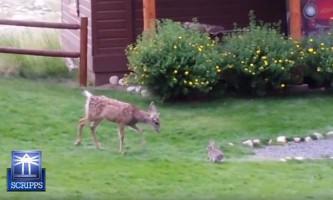 В сша кролик подружився з оленяти