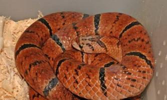 Олігодон пурпурний - змія з «маскою» на голові