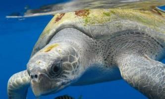 Оливкова черепаха - унікальне створіння природи