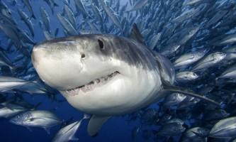Небезпечні і кровожерливі хижаки океанів