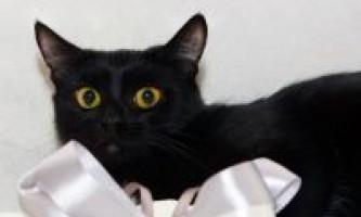 Опис бомбейської породи кішок