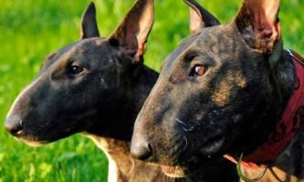 Опис бультер`єра: чим славляться англійські пси?