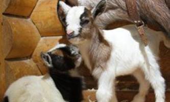 Опис і гідності камерунської породи кіз