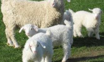 Опис і характеристики продуктивності ангорської породи кіз