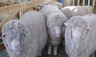 Опис екстер`єру та продуктивності овець куйбишевської породи