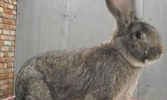 Опис кроликів породи ризен, їх розведення і утримання