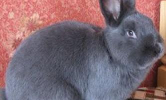 Опис кроликів породи віденський блакитний, їх розведення і утримання