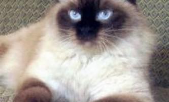 Опис невської маскарадною породи кішок