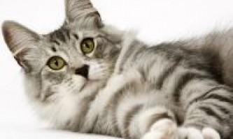 Опис норвезької лісової породи кішок