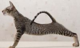 Опис орієнтальної породи кішок